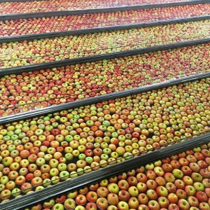 Hundreds of apples on conveyor belts